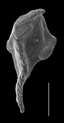 <i>Kaljoprion laevaensis Hints, 2008</i><br />Laeva 18 borehole, 225.15 m, Nabala Stage