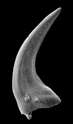 Panderodus sulcatus (Fåhraeus, 1966), GIT 449-43