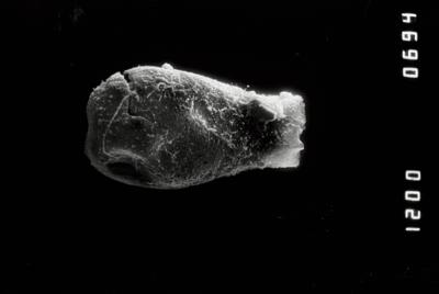 <i><i>Conochitina praeproboscifera</i></i><br />Ventspils D-3 borehole, 825.60 m, Telychian ( 754-1344)