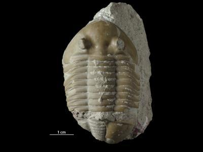 Asaphus sp., GIT 438-404