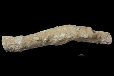 Thalassinoides isp., GIT 343-93