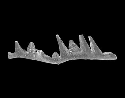 Phragmodus polonicus Dzik, 1978, GIT 449-39