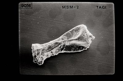 <i><i>Linochitina</i>   Linochitina sp. sp.</i><br />Kolka 54 borehole, 402.80 m, Jaagarahu Stage ( 754-644)