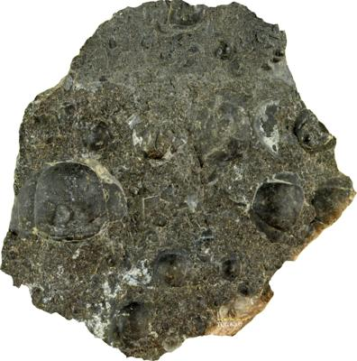 Peltura scarabaeoides (Wahlenberg, 1821), TUG 6-337