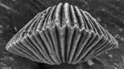 Wysogorskiella litviensis Hints, 1975, GIT 207-79
