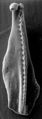 <i>Ramphoprion elongatus Kielan-Jaworowska, 1962</i><br />Rapla borehole, 108.15 m, Nabala Stage