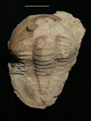 Asaphida