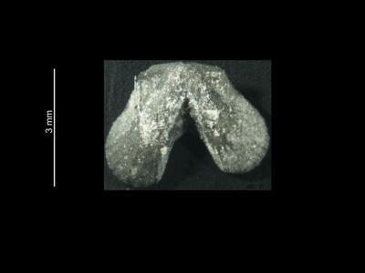 Dicoelosia biloba (Linnaeus, 1758), GIT 37-11