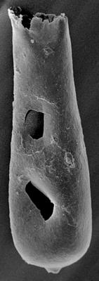 <i><i>Conochitina</i> | Conochitina aff. proboscifera Eisenack, 1937</i><br />Ohesaare borehole, 243.00 m, Jaagarahu Stage ( 272-126)