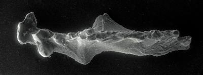 Icriognathus cornutus Männik, 1992, GIT 252-10