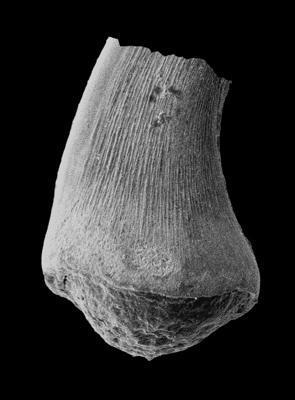 Semiacontiodus cornuformis (Sergeeva, 1963), GIT 594-43