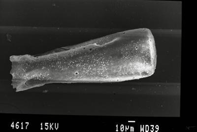 <i><i>Belonechitina latifrons</i> | Belonechitina aff. latifrons</i><br />Gussev 1 borehole, Kaliningrad oblast, 1425.30 m, Paadla Stage ( 754-44)