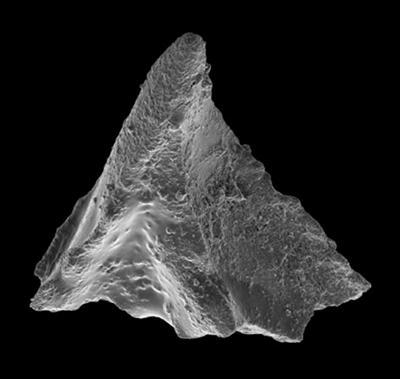 Lenodus sp., GIT 594-78