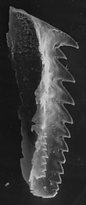 "<i>""Mochtyella"" duplicidentata Szaniawski, 1970</i><br />Hüti F-358 borehole, 132.49 m, Keila Stage"
