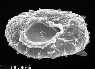 Stelliferidium modestum (Gorka, 1967) Deunff, Gorka and Rauscher, 1974, TUG 1537-41