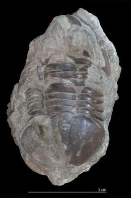 Asaphus latisegmentatus Nieszkowski, 1857, GIT 27-5