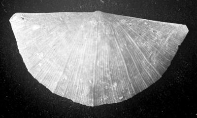 Sowerbyella (Sowebyella) liliifera Öpik, 1930, TUG 1054-126