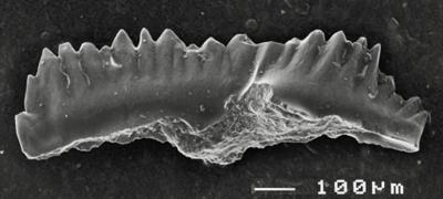 Pterospathodus amorphognathoides angulatus (Walliser, 1964), GIT 511-20