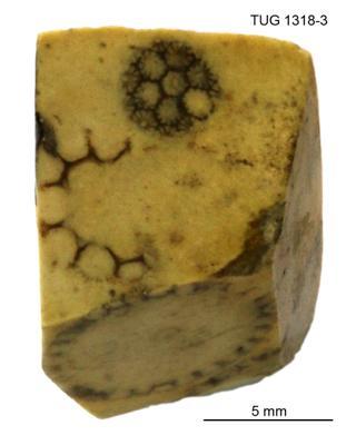Cyclocrinites spasskii Eichwald em. Stolley, TUG 1318-3