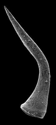 Semiacontiodus carinatus Dzik, 1976, GIT 449-72