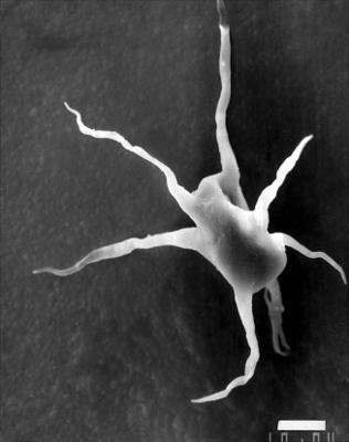 Goniosphaeridium cantabricum (Cramer, 1964) n. comb., GIT 344-120