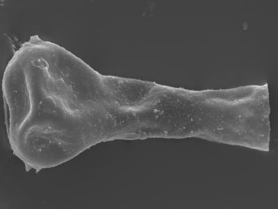 <i><i>Ancyrochitina laevaensis</i></i><br />Kolka 54 borehole, 659.50 m, Juuru Stage ( 754-395)