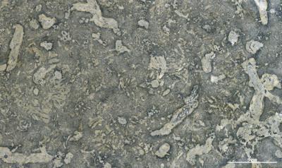 Balanoglossites isp., GIT 398-668