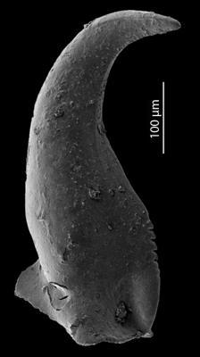 Skalenoprion sp. 1, GIT 724-64