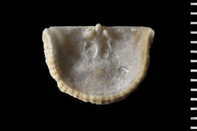 Productorthis obtusa (Pander, 1830), GIT 588-90