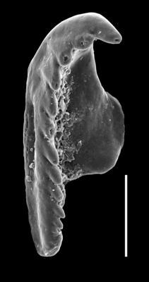 <i>Oenonites sp. A Hints et al., 2006</i><br />Paatsalu 527 borehole, 60.20 m, Wenlock