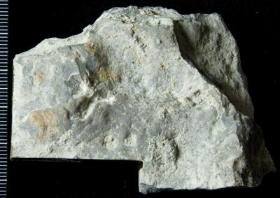 Densastroma pexisum (Yavorsky, 1929), GIT 114-60