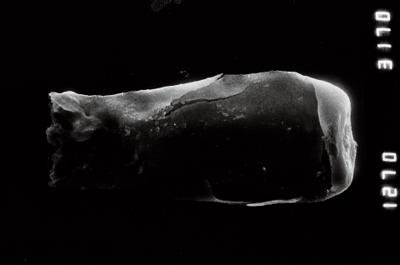 <i><i>Linochitina</i> | Linochitina sp.1</i><br />Nagli 106 borehole, 645.40 m, Adavere Stage ( 754-950)