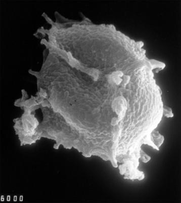 Cymatiogalea sp.3, TUG 1528-52
