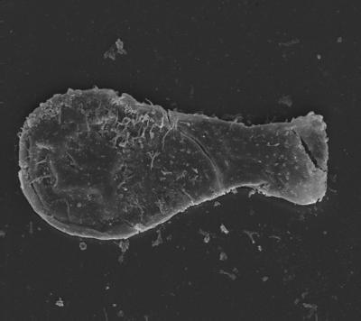 <i><i>Angochitina longicollis</i></i><br />Ventspils D-3 borehole, 827.60 m, Adavere Stage ( 754-1347)