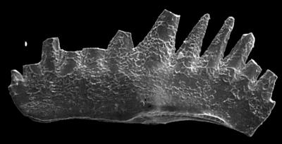 Ozarkodina excavata (Branson et Mehl, 1933), GIT 280-48
