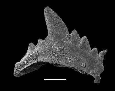 Pterospathodus pennatus procerus (Walliser, 1964), GIT 598-4