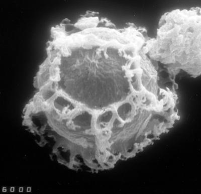 Cymatiogalea aspergillum Martin, 1988, TUG 1528-20