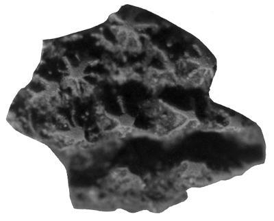 Gnathostomata