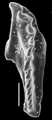 Polychaeturidae
