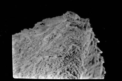 <i><i>Eisenackitina lagenomorpha</i> | Eisenackitina cf. lagenomorpha</i><br />Ohesaare borehole, 40.10 m, Kaugatuma Stage ( 754-724)