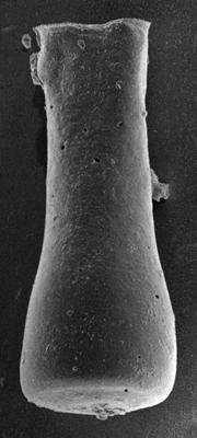 <i><i>Conochitina subcyatha</i></i><br />Ruhnu 500 borehole, 333.00 m, Jaagarahu Stage ( 217-18)