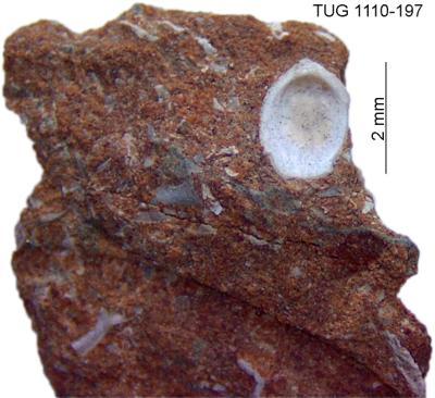 Craniopsidae