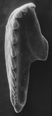 <i>Polychaetura kielanae Hints, 1998</i><br />Vaemla F-364 borehole, 139.30 m, Jõhvi Substage