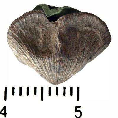 Skenidioides lewisii (Davidson, 1848), TUG 441-634