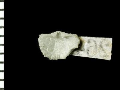 Ranorthis parvula Rubel, 1961, GIT 125-7
