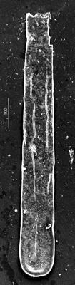 <i><i>Conochitina leptosoma</i></i><br />Aispute 41 borehole, 964.60 m, lower Silurian ( 345-7)