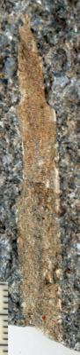 Ptilodictya lanceolata (Goldfuss, 1826), TUG 1578-8