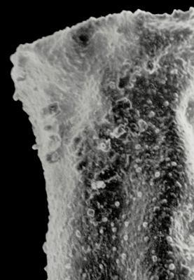 <i><i>Fungochitina fungiformis</i></i><br />Kaugatuma 509 borehole, 411.00 m, Nabala Stage ( 359-8)