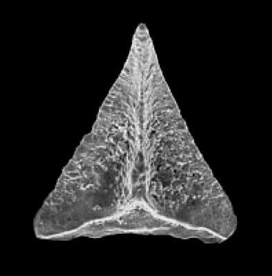 Oistodus lanceolatus Pander, 1856, GIT 342-24