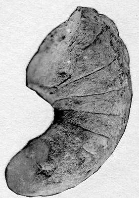 Barrandeocerida